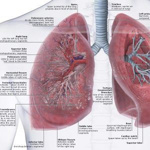 Lung and Heart Human Anatomy Diagram 300x300