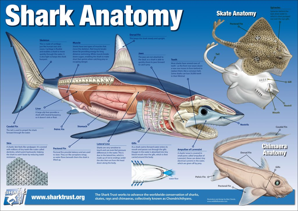 Shark anatomy 1024x724