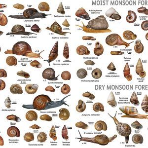 Snail identification guide 300x300