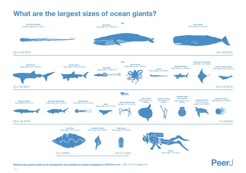 What Are The Largest Sizes of Ocean Giants Infographic
